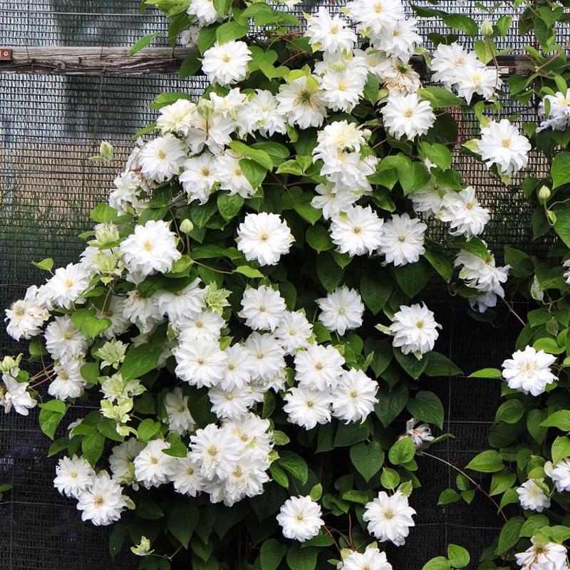 Клематис с белыми мелкими цветами название