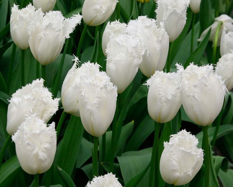 сорта тюльпанов фото с названиями замена, цена крышка