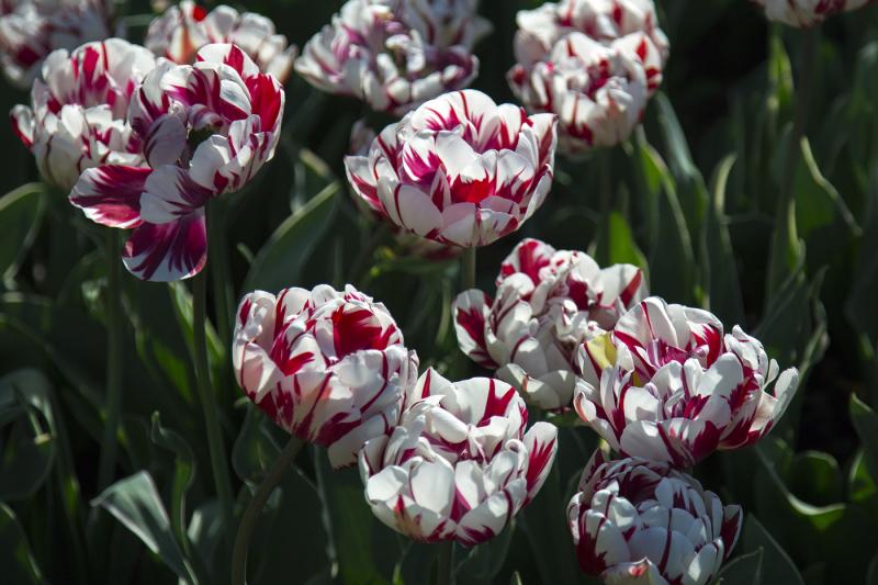 сорта тюльпанов фото и названия с описанием шея, приготовленная таком