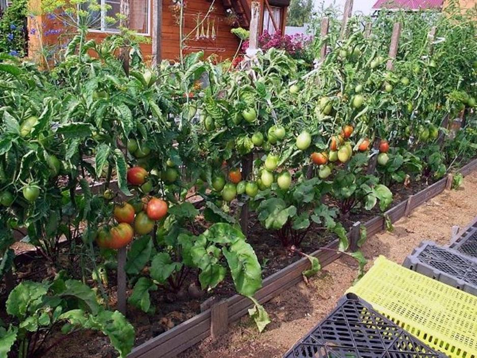 выращивание томатов после высадки в грунт